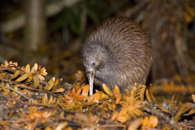 Brown Kiwi Adult One Poking in the Ground