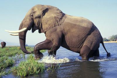 Large African Elephant Bull in Water