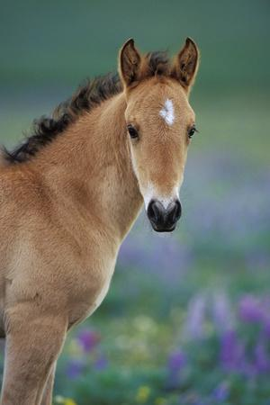 Mustang Wild Horse Young Colt Amongst Wildflowers
