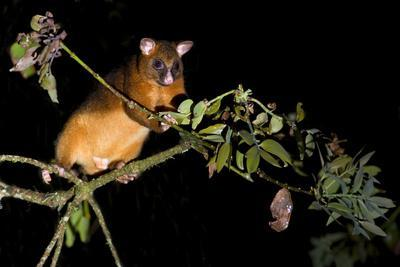 Common Ringtail Possum Adult Climbing High In