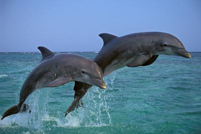 Two Bottlenosed Dolphins Jumping