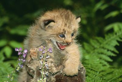 Lynx Cub Snarling