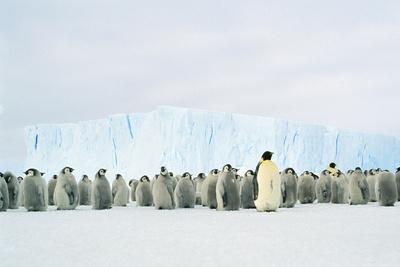 Emperor Penguin, Adult and Young in Creche