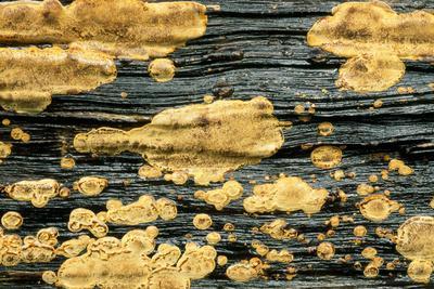 Lichen Golden Crustose Lichen on Fallen Treetrunk