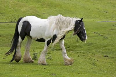 Black and White Piebald Horse Trotting