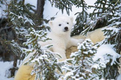 Polar Bear Cub Looking Through Trees from Adult's Back