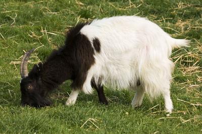 Black and White Bagot Goat Grazing