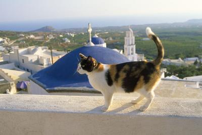 Cat,Tortoiseshell and White, Town in Background