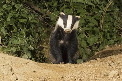 European Badger Emerging from Sett