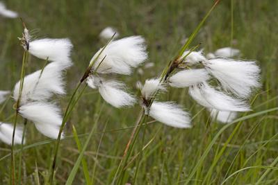 Flowers of Cotton Grass or Hare's-Tail Blowing in Wind
