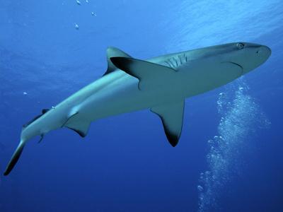 Grey Reef Shark Female