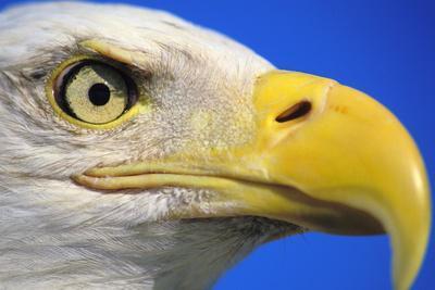 Bald Eagle Close-Up of Face