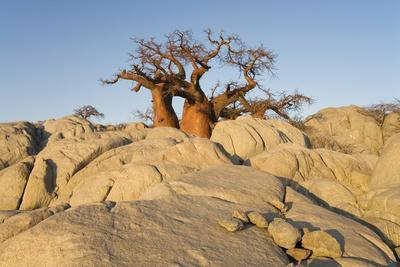 Boab Tree in the Early Morning at The