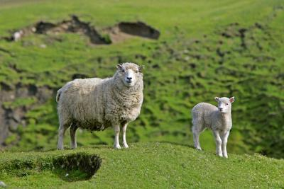 Sheep Mother and Young Standing Amidst Green