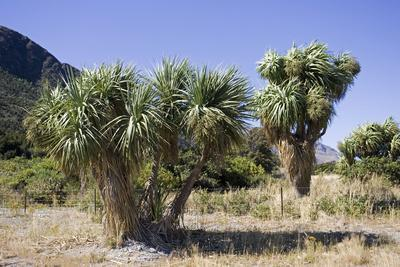 Cabbage Trees in Flower by Lake Hawea