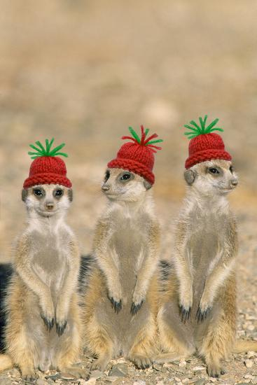 7a2ce2dd67315 Meerkat Wearing Woolly Christmas Hats Photographic Print at AllPosters.com