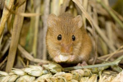 Harvest Mouse Eating Wheat Seed
