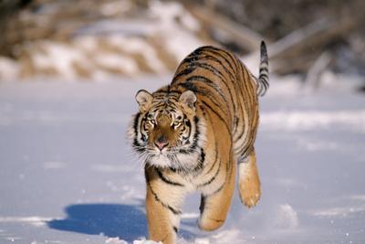 Siberian Amur Tiger Running in Snow