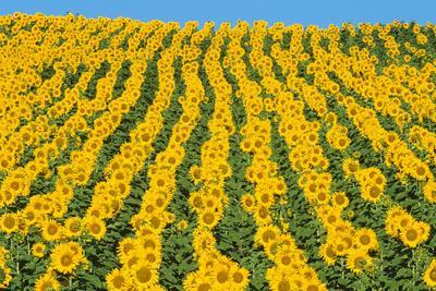 Sunflowers Cultivated