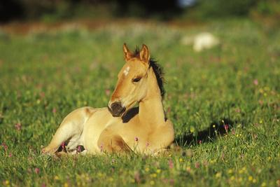 Young Mustang Wild Horse Colt Resting in Meadow