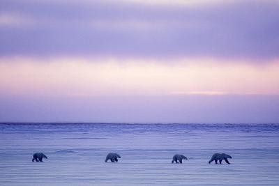 Polar Bear Mother and Yearling Cubs