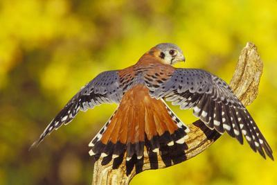 American Kestrel Displaying, Wings Oustretched