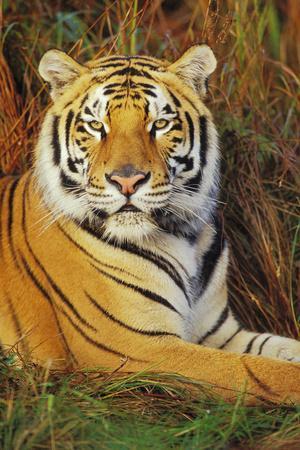 Bengal Indian Tiger