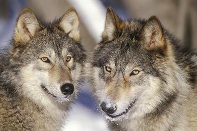 Timber Wolf with Snowy Mouths
