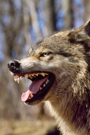 Grey Wolf Snarling