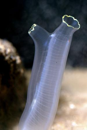 Tunicate Sea Squirt