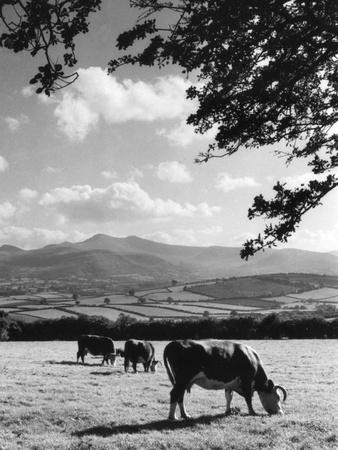 Cattle and Brecon Beacons