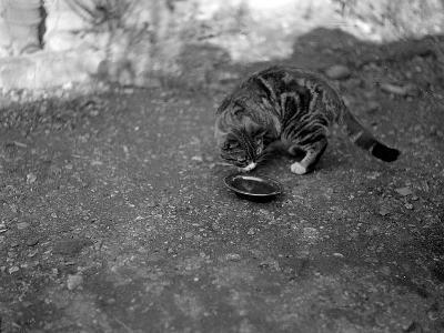 A Cat Drinking