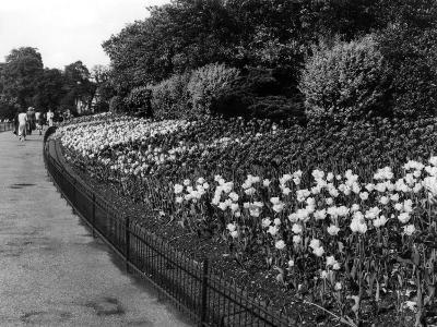 Regent's Park Tulips