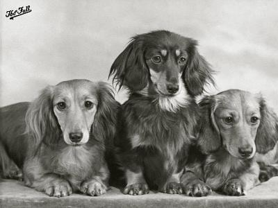 """Three Dachshunds Sitting Together from the """"Priorsgate"""" Kennel Owned by Sherer"""