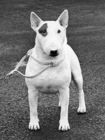 Champion Abraxas Audacity Crufts, Best in Show, 1972