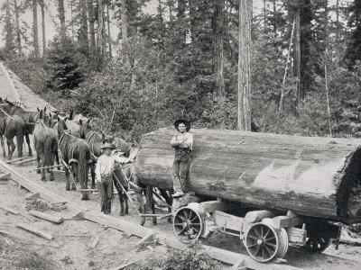 Horses are Used to Pull Large Tree Trunks on Railway Carriages in California