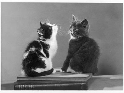 Black and White Kitten and a Grey and White Kitten Sit Atop Some Books