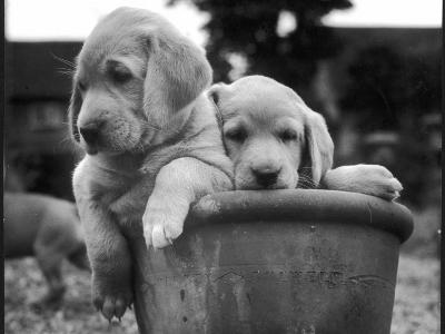 Two Labrador Puppies in a Flowerpot