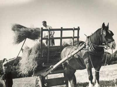 Harvesting in Sussex with a Shire Horse and Cart