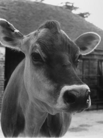 Close-Up of a Cow's Head, Probably of the Jersey Breed