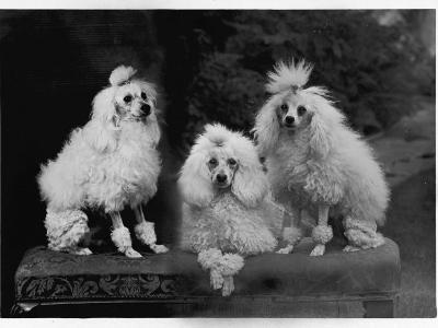Mini Poodle Trio