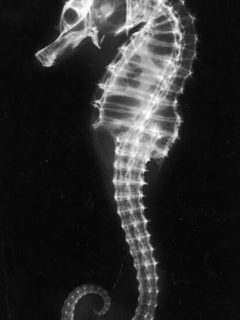 An X-Ray of a Seahorse, Showing its Skeleton