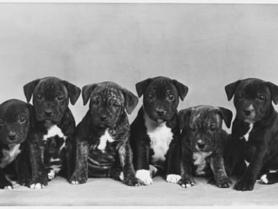A Row of Six Puppies. Owner: Burge-Smith