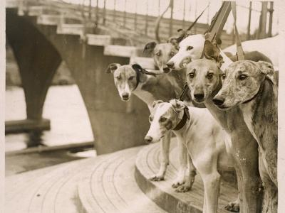 A Photograph of Six Greyhounds, Mainly their Heads, Taken at Wembley Stadium