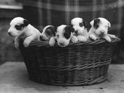 A Basket of Mischief! a Fine Litter of Wire-Haired Fox Terrier Puppies