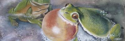 European Tree Frog (Hyla Arborea), Illustration