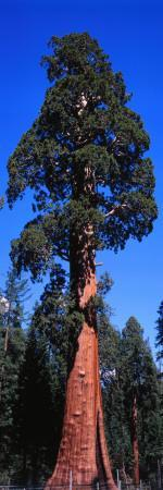 Giant Sequoia Stands Tall