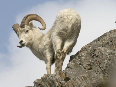 Alaska, Anchorage, Precarious Perch: 50,000 Dall Sheep Call Alaska Home