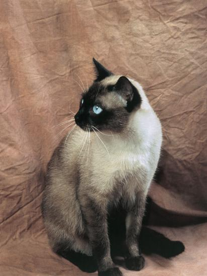 Close Up Of A Chocolate Point Siamese Cat Photographic