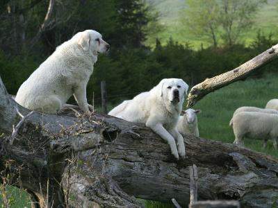 Nebraska, Anselmo, the Vigilance of Akbash Guard Dogs Is Legendary: Often, Females Refuse to Leave